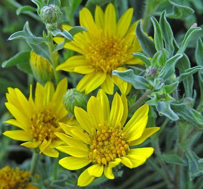 Aster golden hairy