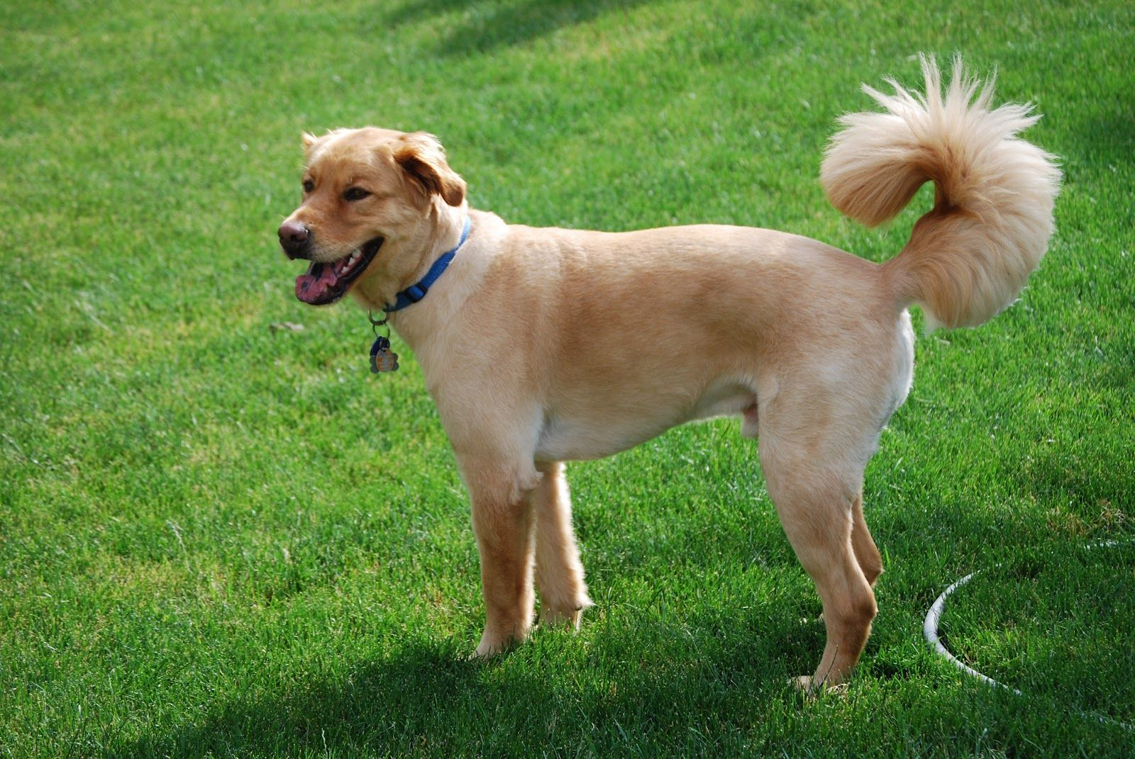 best of Golden retriever mix Shaved
