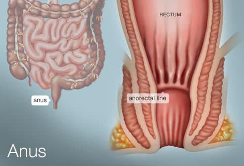 Organ anus human