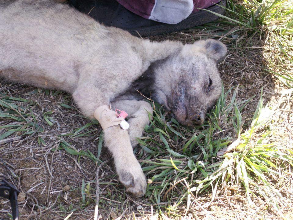 Arctic A. reccomend Canine anus prolapse