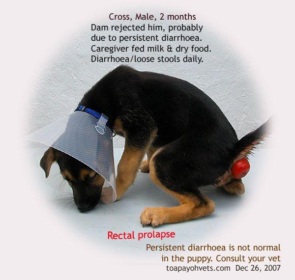 best of Anus prolapse Canine