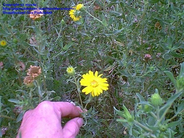 best of Golden hairy Aster