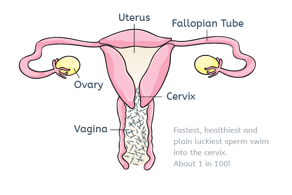 best of Females in body lives Sperm