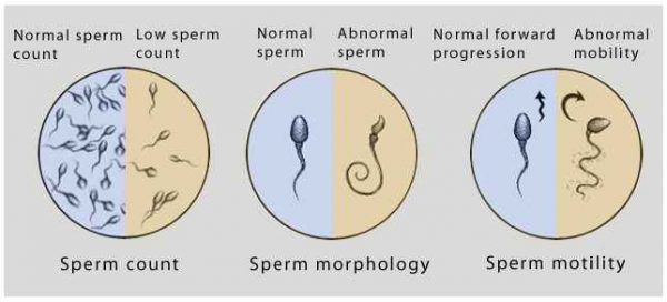 Increase naturally production sperm