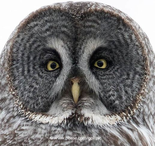 An owls facial disc