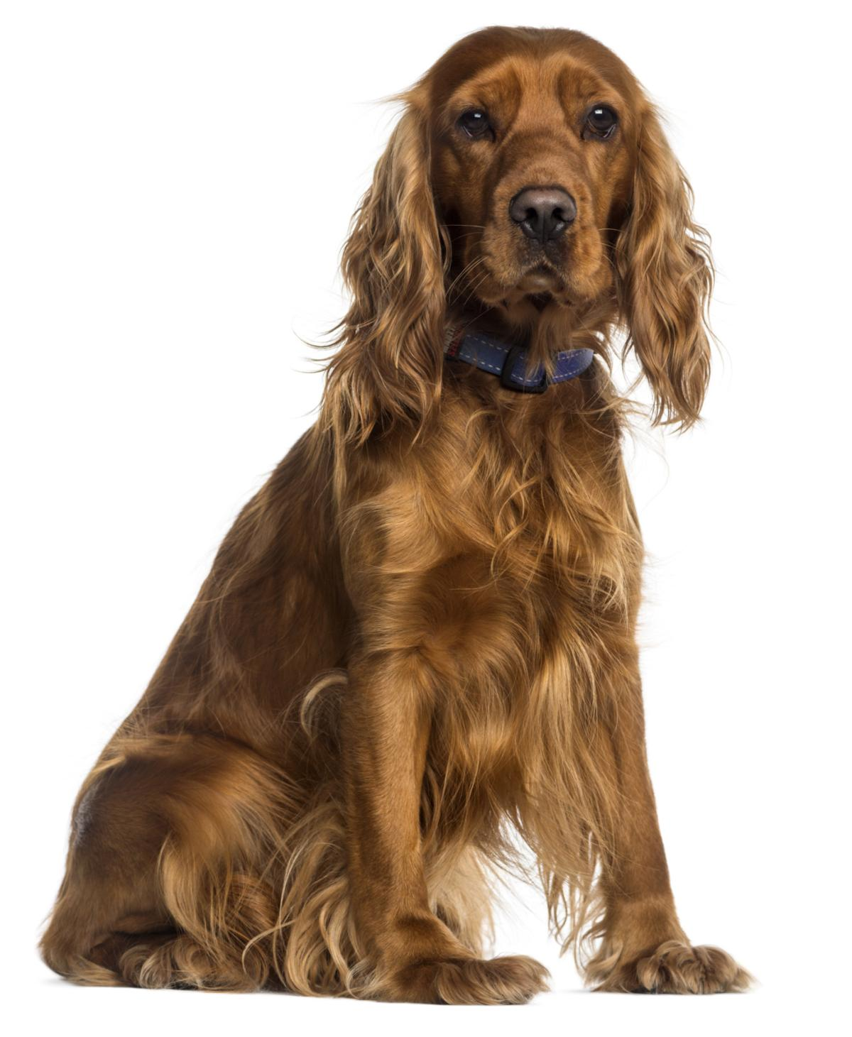 Speaking the for sale adult spaniel think