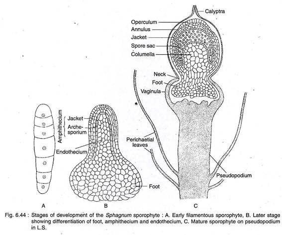 Mature moss sporophyte