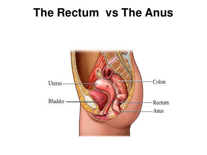 The rectum and anus